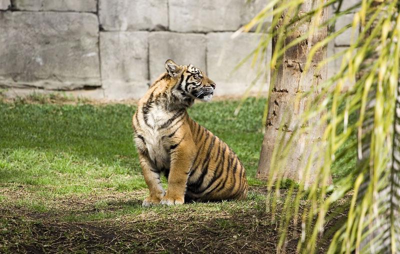 Sybirischer Tiger