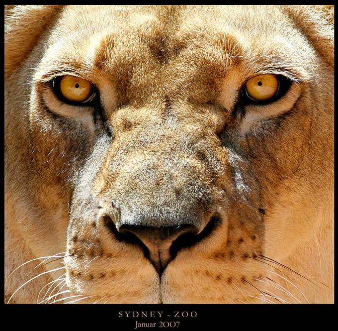 sydney lion