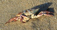 Sylt  Krabbe