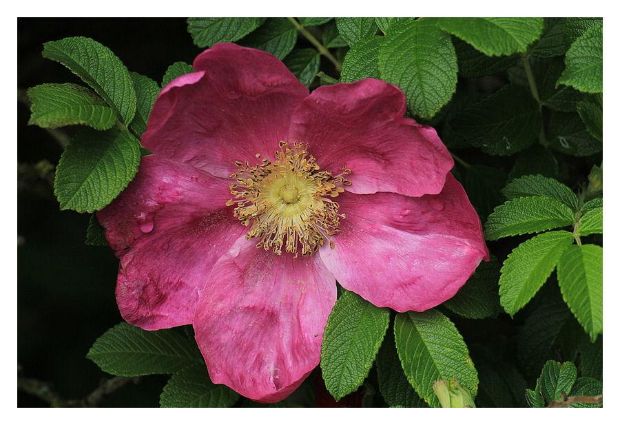 """""""Sylt Rose"""""""