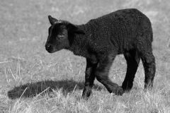 Sylter Schaf