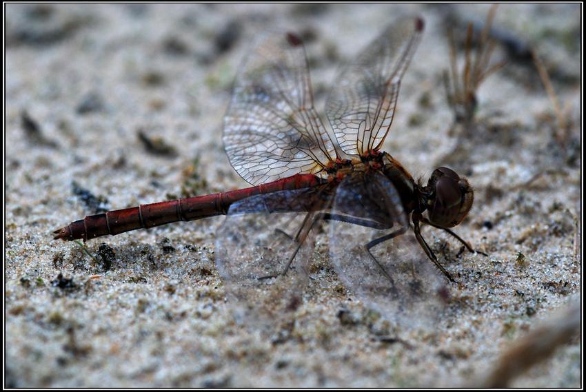 Symbiose zwischen weibl. Heidelibelle und Fotograf