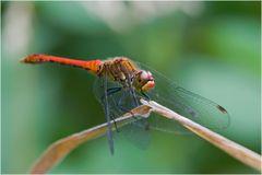 Sympetrum sanguin (mâle)