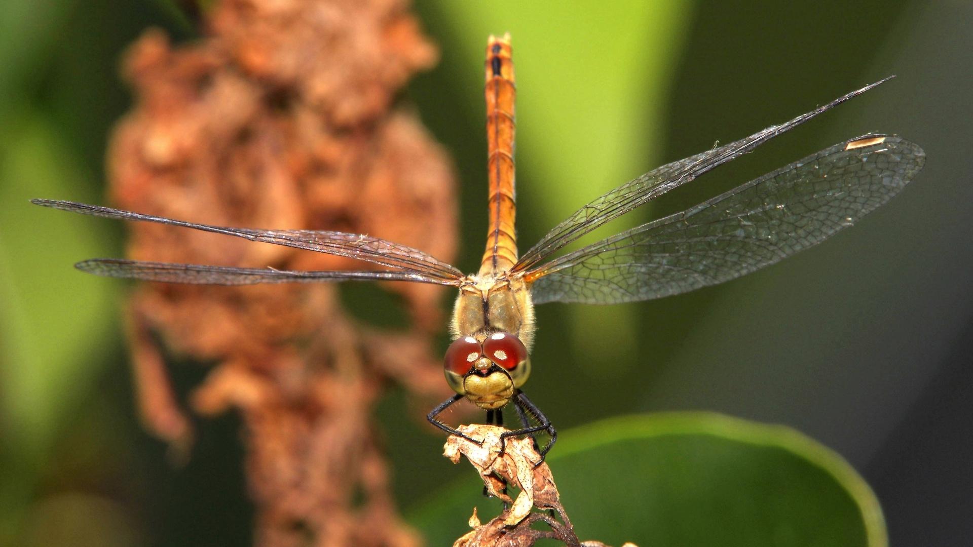 Sympetrum sanguineum female
