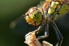 Sympetrum striolatum - is watching you