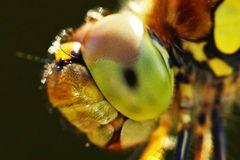 Sympetrum striolatum - is watching you -