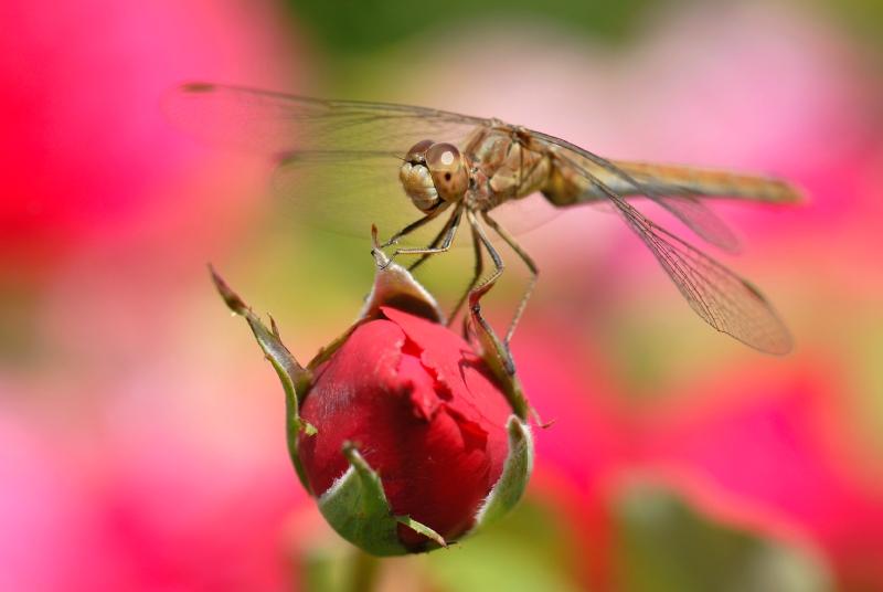 Sympetrum sur bouton de rose