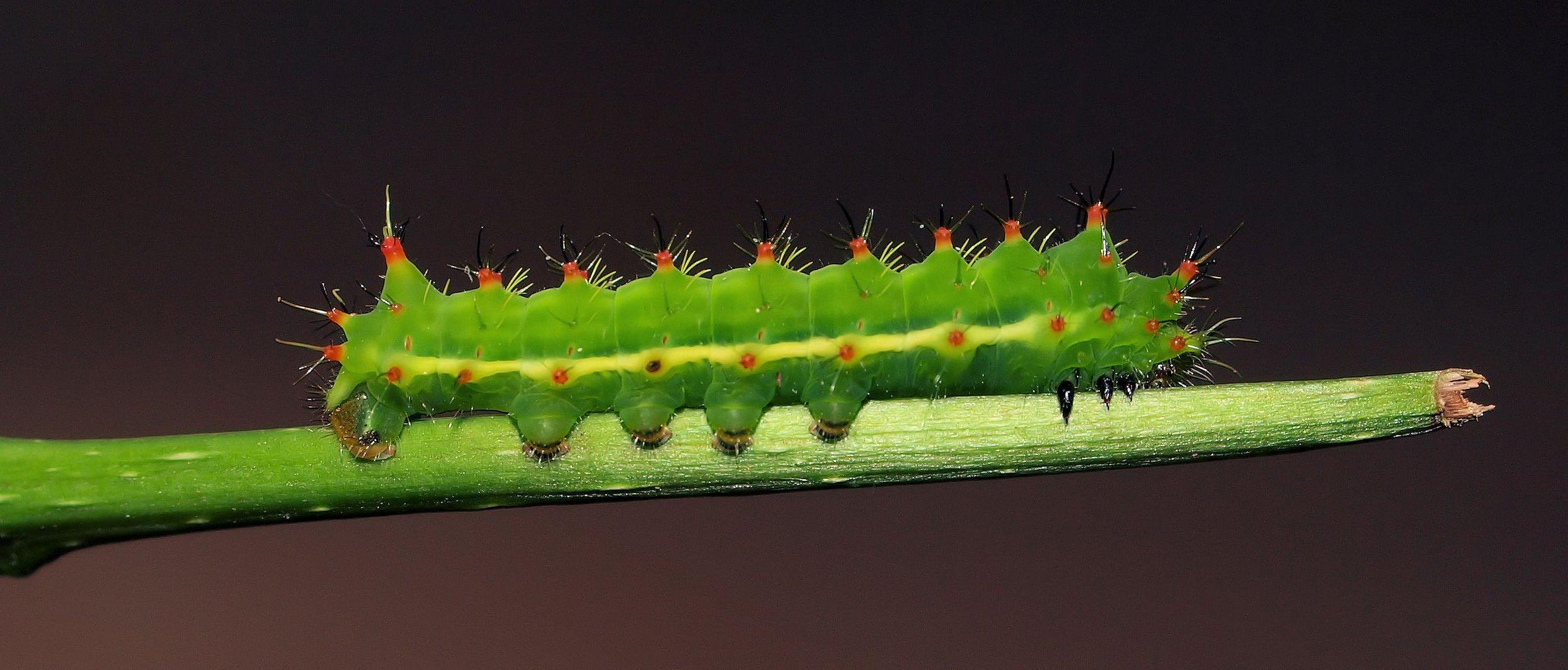 Syntherata escarlata