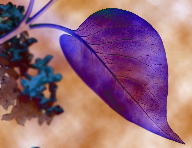 Syringa en lila
