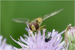 Syrphe ceinturé et micro coléoptère