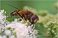 Syrphe Eristalis arbustorum femelle