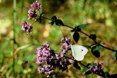 Syrphe et le Papillon