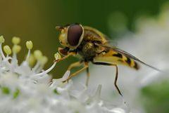 Syrphe : Syrphus sp.