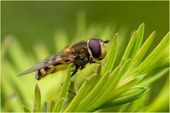 Syrphe Syrphus sp. sur cyprès chauve