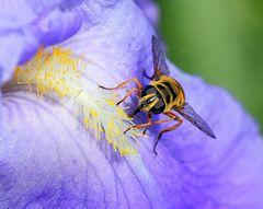 ( Syrphe tête de mort ) (Myathropa florea)
