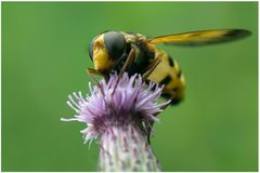 Syrphe, Volucella inanis
