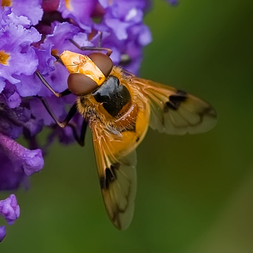 Syrphe Volucella inanis