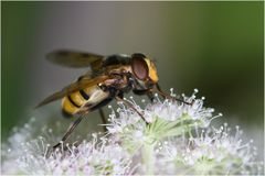 Syrphe Volucella inanis femelle