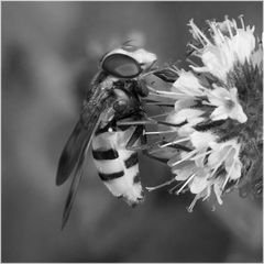 Syrphe Volucella inanis sur menthe