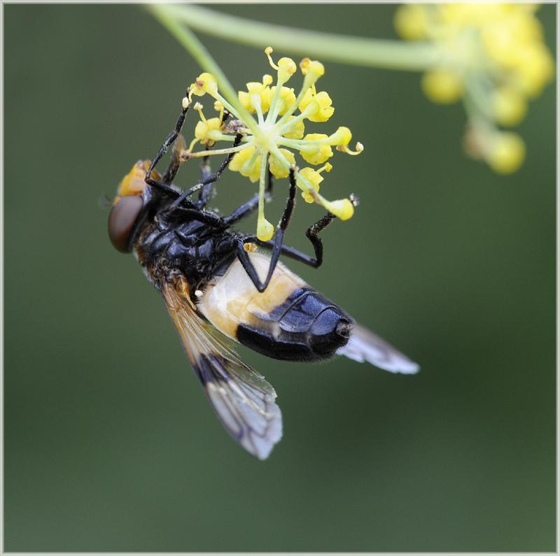 Syrphe Volucella pellucens mâle
