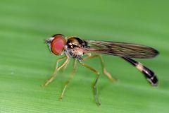 Syrphidae, Baccha elongata
