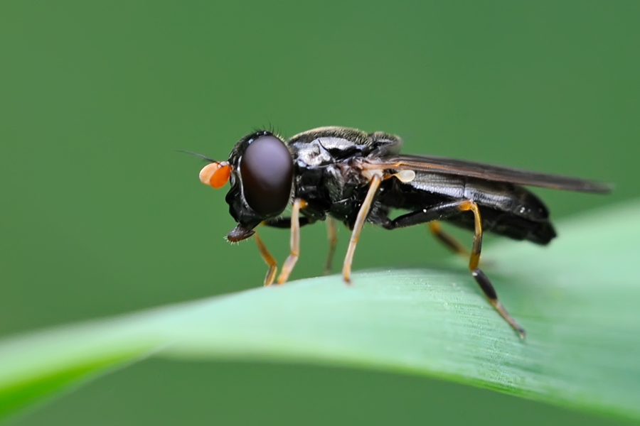 Syrphidae, Cheilosia pagana