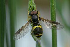 Syrphidae : Chrysotoxum bicinctum