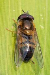 Syrphidae, Epistrophe eligans
