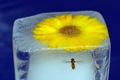 Syrphidae - Pech gehabt