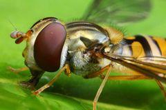 Syrphidae - Schwebfliege