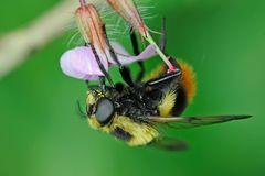 Syrphidae, Volucella bombylans