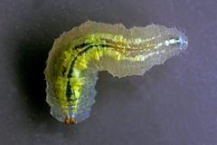 Syrphus ribesii