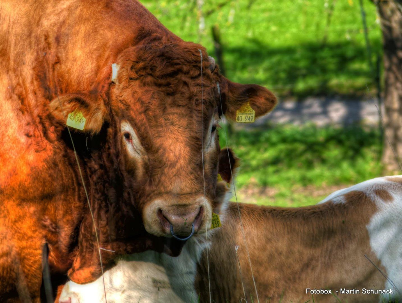 T-Bone Steak in freier Wildbahn ;-)