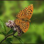 Tabac d'Espagne (Argynnis paphia) - Kaisermantel
