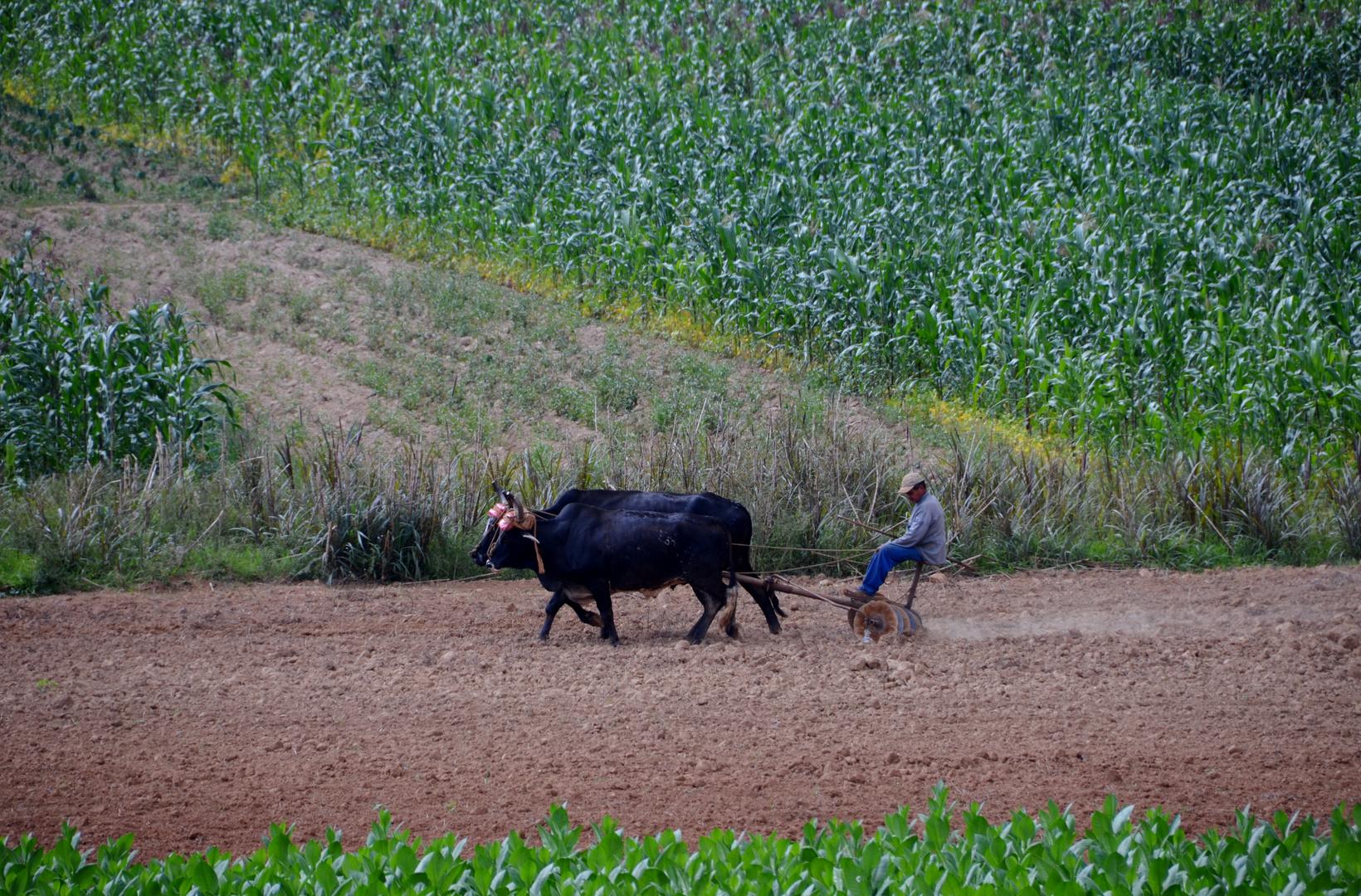 Tabackbauer bei der Feldarbeit
