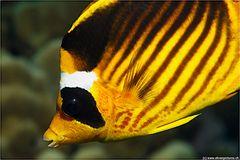 Tabak-Falterfisch