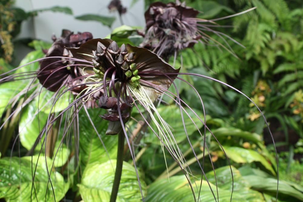 Tacca, auch Fledermausblume genannt