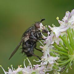 Tachinidae, Linnaemya sp.