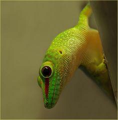 """"""" Tag - Gecko """""""