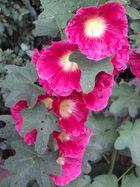 Tagesblüte