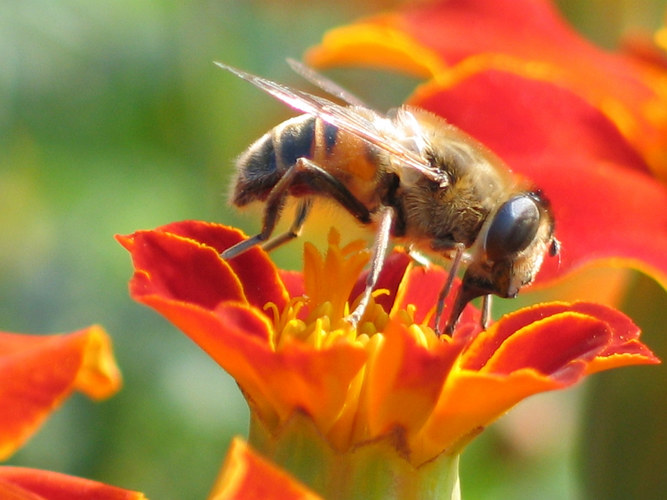 Tagetes und Biene