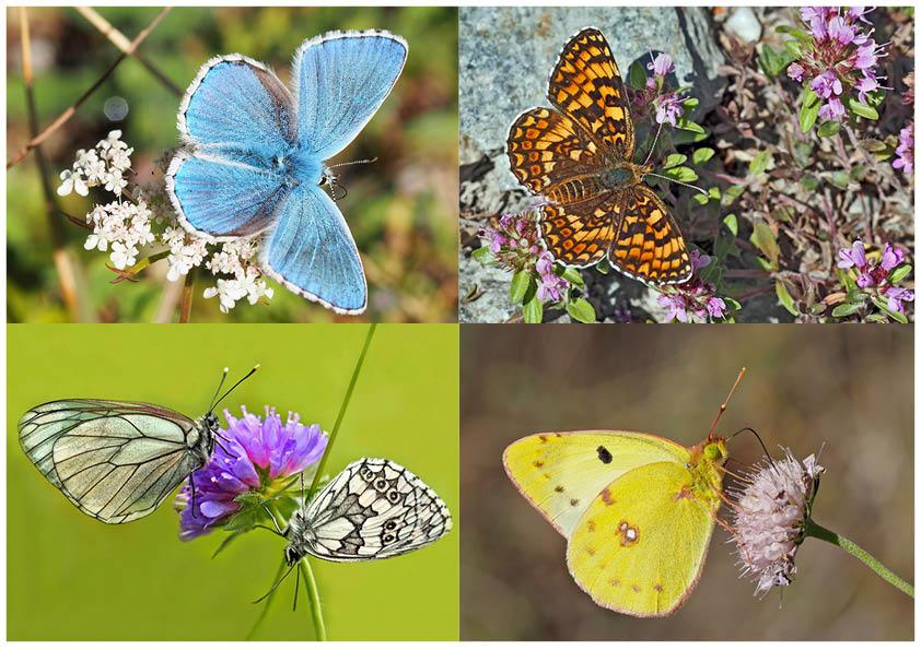 Tagfalter erfreuen unsere Herzen! (1) - Un regard en arrière et en avant: papillons.