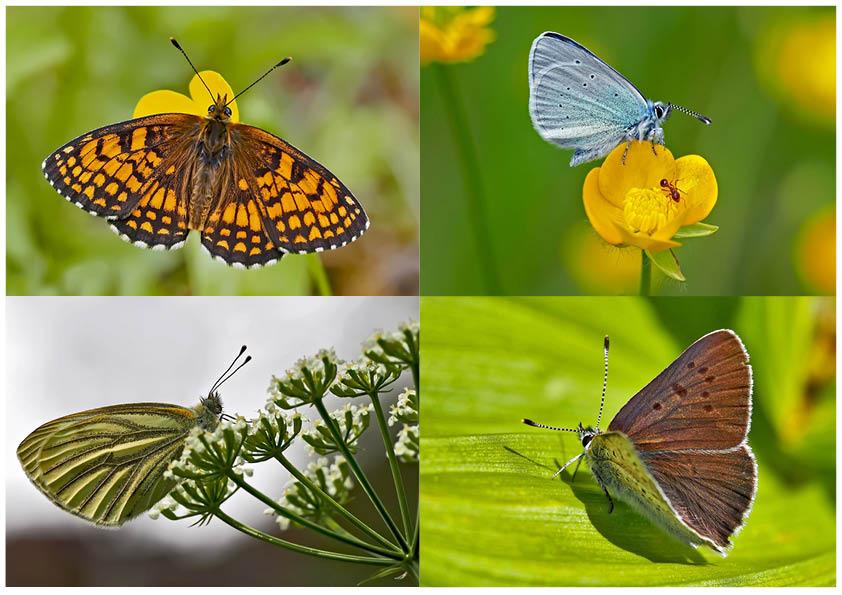 Tagfalter erfreuen unsere Herzen! (10) - Un regard en arrière et en avant: papillons.