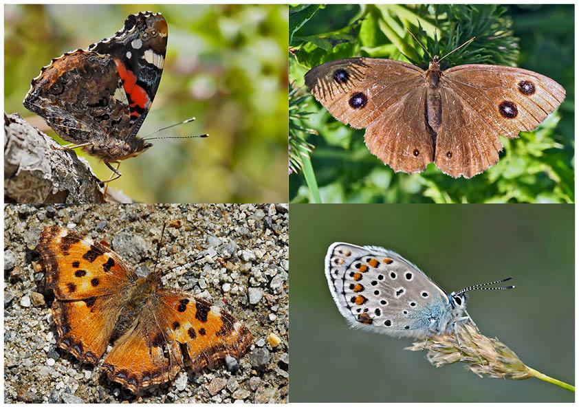 Tagfalter erfreuen unsere Herzen! (11) - Un regard en arrière et en avant: papillons.