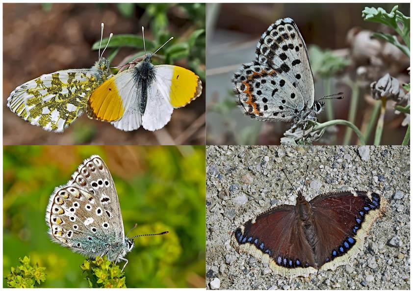 Tagfalter erfreuen unsere Herzen! (12) - Un regard en arrière et en avant: papillons.