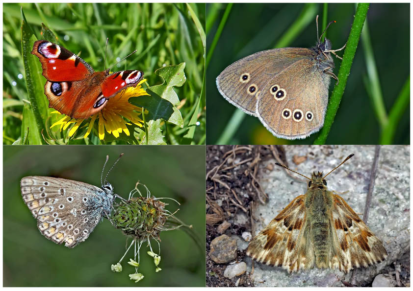 Tagfalter erfreuen unsere Herzen! (14) - Un regard en arrière et en avant: papillons.