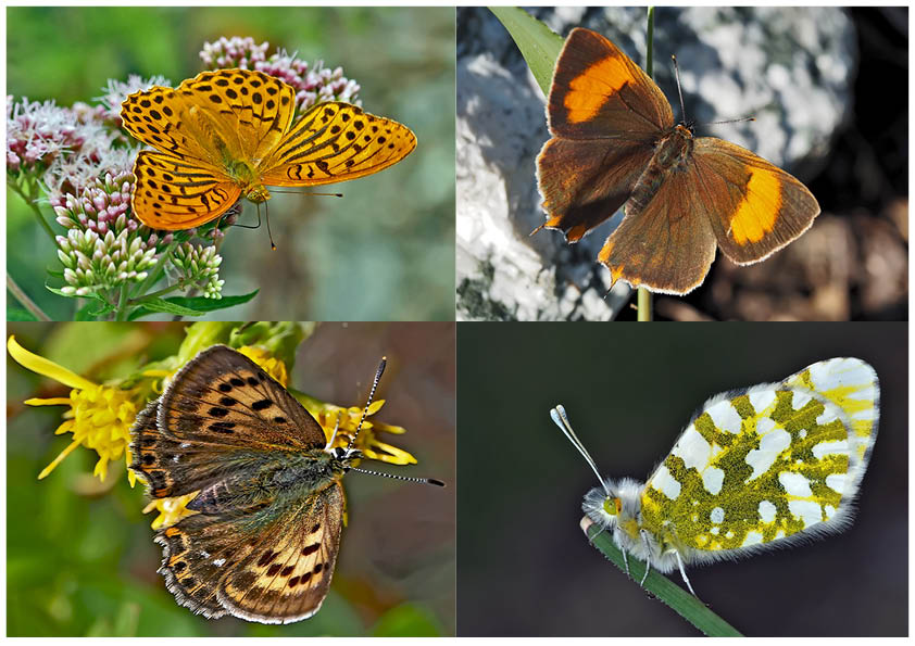 Tagfalter erfreuen unsere Herzen! (15) - Un regard en arrière et en avant: papillons.