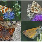 Tagfalter erfreuen unsere Herzen! (16) - Un regard en arrière et en avant: papillons.