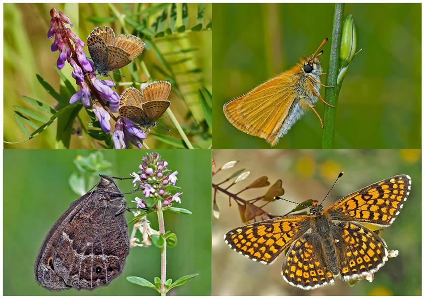Tagfalter erfreuen unsere Herzen! (19) - Un regard en arrière et en avant: papillons.
