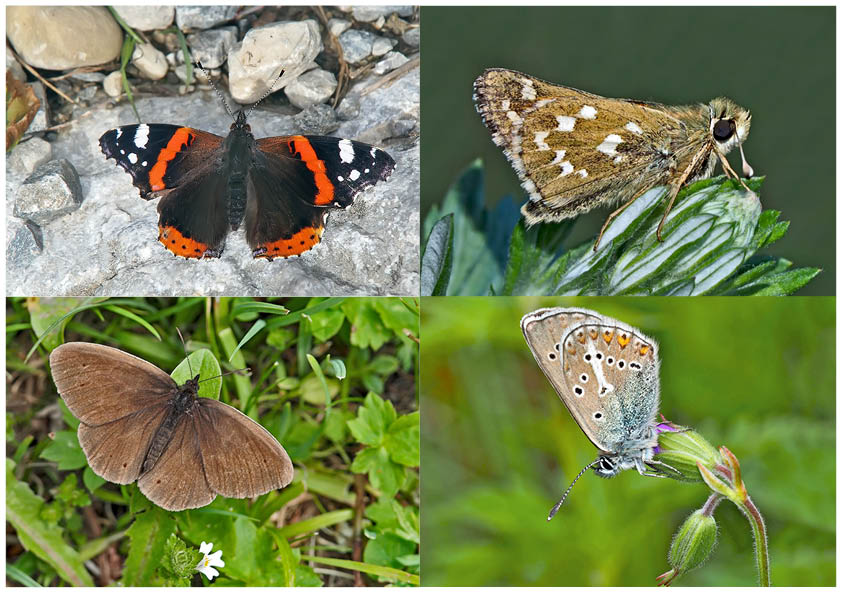 Tagfalter erfreuen unsere Herzen! (20) - Un regard en arrière et en avant: papillons.